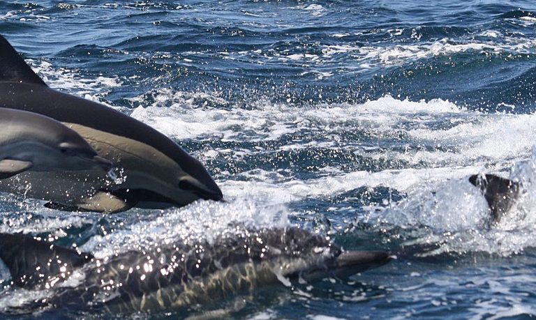 Dolphin watching in Sagres